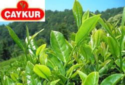 Çay üreticilerinin adresi belli oldu