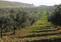 İki milyon ağacın yarısı zeytin veriyor!