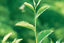 Bitkilerden merhem ve şurup hazırlayabilirsiniz