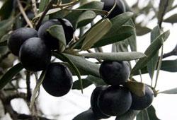 Silifke'de zeytin hasadı mutlu başladı