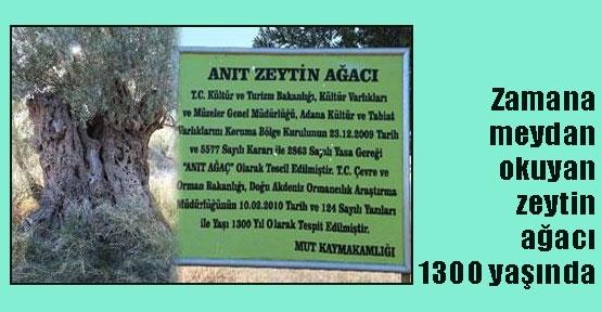 Bin 300 yıllık zeytin ağacı