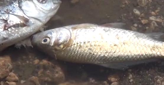 Bir toplu balık ölüm vakası daha