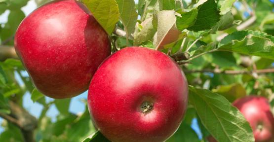 Diş sağlığı için elma tüketin