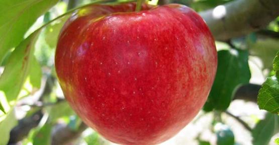 Elma yiyen kadınlar daha mutlu