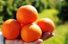 6 çeşit turunçgil tescillendi
