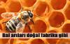 Bal arıları doğal fabrika gibi