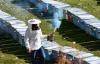 Bitlis arı sütü sağacak