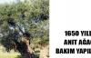 Bu ağaç tam 1650 yaşında