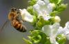 Erken bahar arıları uyutmadı!