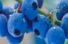 Mavi yemiş üreticiye servet kazandırdı