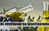 Milas zeytinyağına tescil koruması
