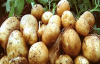 Patates tarlada 1 liradan satılıyor