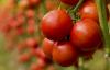 Yine Ukrayna, yine domates iadesi