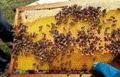 Çotla Bal Havzası Projesi'nde bal akışı başladı