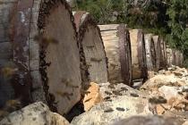 Mersin'de asırlık Yörük balı yeniden üretiliyor