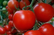 Koronavirüse karşı domates aşısı geliştirildi