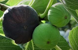 Siyah incirin dünya yolculuğu başladı
