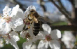 Arı ve meyve yetiştiricileri ortak çalışıyor