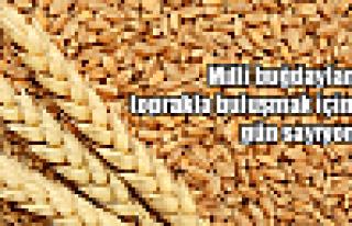 Milli buğdayımız toprakla buluşuyor