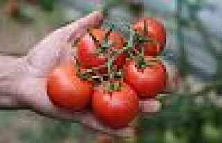 Rusya'ya domates ihracatı 14 kat arttı