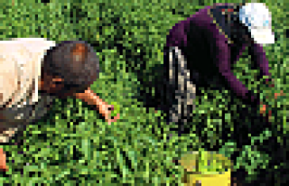 Şanlıurfa'da isot hasadı başladı