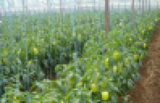 Tarımsal üretim örtü altına kaydı