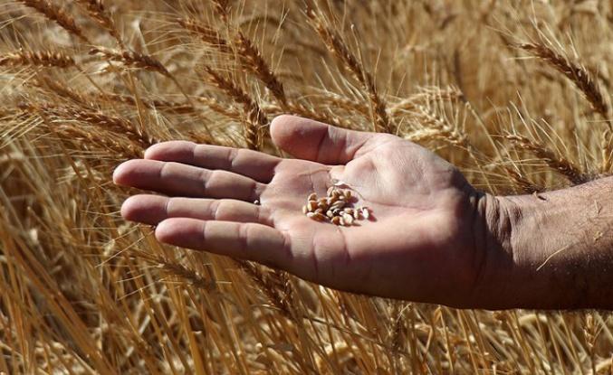 Kuraklığa karşı yeni tohum çeşitleri